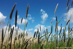 Laying in the grass Looking to the sky (Johan Konz) Tags: blue sky white plant reed netherlands field grass clouds skyscape landscape outdoor polder waterland ilpendam purmer