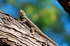 Spiny Lizard (Monkeystyle3000) Tags: animal desert nevada lizard spiny