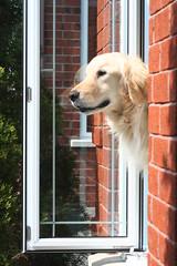 Sunny 20/52 (Lianne (calobs)) Tags: dogs for golden retriever weeks 52