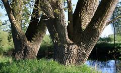 03-IMG_1424 (hemingwayfoto) Tags: dick natur pflanze fc fluss baum rinde leine esche laubbaum regionhannover