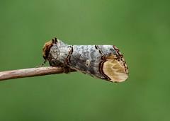 Buff-tip----- Phalera bucephala (creaturesnapper) Tags: uk europe lepidoptera moths notodontidae phalerabucephala phalerinae bufftip
