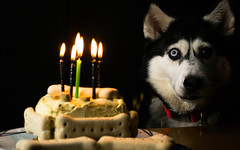 2016 Home Day Celebration (Wolfdog Photography) Tags: birthday dog cake husky siberianhusky adoption rspca cakeday adoptdontshop