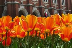 Planty (bazylek100) Tags: park flowers spring poland polska tulip krakw cracow planty wiosna tulipan collegiumnovum krakoff