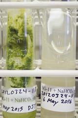 ORNG0383 (David J. Thomas) Tags: culture cave algae microbiology slant agar cyanobacteria phycology lyoncollege bg11 photobiont phycobiont