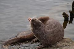 Fischotter (fabiantobias1) Tags: wildlife pair paar otter pforzheim wildpark fischotter europeanotter