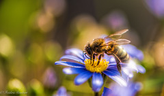 Busy morning Spring (frederic.gombert) Tags: flowers blue light summer sun sunlight flower color colors yellow garden insect spring nikon bee greatphotographers d810