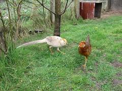 Golden Pheasants (Explored) (Eire's Gorgeous Golden Gorse representative) Tags: pet bird nature yellow fauna garden wing ornamental gamebird goldenpheasant hww inexplore wingwednesday canonixus170 2016onephotoeachday