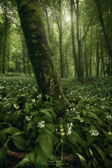 Mystic wild garlic (Manuel.Martin_72) Tags: flowers trees mist green grass leaves fairytale landscape switzerland moss spring woods nikon afternoon cloudy outdoor mystical zrich forests enchanted ch winterthur d810 manuelmartin promoteremotecontrol wwwmanuelmartinphotographycom