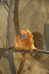 Riverbanks Zoo (Todd Money) Tags: monkey zoo tamarins