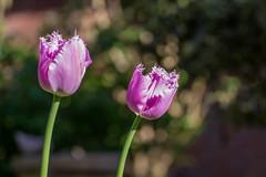 Tulip (Maxpack81) Tags: flower canon garden photography eos fotografie photographie bokeh pflanze pflanzen tulip blte garten tulpe stengel fotographie unschrfe 600d bulme
