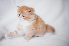 take five (koolandgang) Tags: orange pet animal contrast cat persian kitten bokeh blueeyes kitty reis indoor depthoffield angry kedi babycat mioumiou fivefingers portakal takefive pisipisi kedici 60daysold
