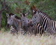 Burchell's Zebra (leendert3) Tags: ngc npc burchellszebra sunrays5