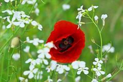 Wilde bloemen (Crooski) Tags: blauw pentax wildflowers geel rood wit bloemen paars rozenburg kleuren wildebloemen ricohimaging