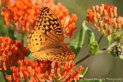 Great Spangled Fritillary (Speyeria cybele) (Megan E. McCarty) Tags: butterfly insect lepidoptera butterflyweed
