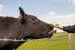Boop! [explore] (Hayley Susan Murphy) Tags: grass tongue fence sussex cows barbedwire sevensisters farmanimals