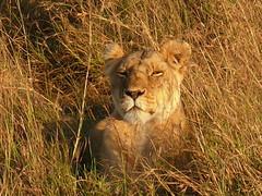Lioness in the Mara ! (Mara 1) Tags: africa wild kenya wildlife mara lioness masai