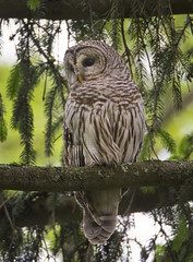 Barred (J Gilbert) Tags: bird newjersey raptor barredowl nwr greatswamp strixvaria chouetteraye
