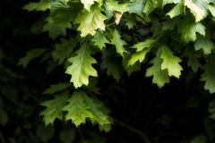 Red Oak (Colin-47) Tags: redoakleaves leaves green yellow colin47 eos6d june 2016 norfolk woodland samyang135mmf2 redoak