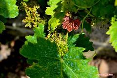 Ma vigne 01 (voyageursdumonde1) Tags: nature village vigne raisin isre salaisesursanne france2016