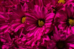 Freddys and Flowers (pillarsoflight) Tags: beauty oregon 35mm portland prime aperture nikon adobe pdx 18 pnw lightroom d3300