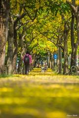 () - Falling Cassia Fistula - Golden shower tree - Xing Da Road, Taichung City (prince470701) Tags: taiwan  sigma70300mm  goldenshowertree taichungcity   fallingcassiafistula sonya99 xingdaroad
