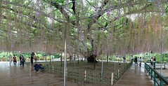 Beautiful Wisteria - Over 140 yrs old tree! (Kester Chan) Tags: travel flowers nature japan landscape purple wisteria