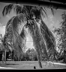 Mr Cocotier et ses noix (Jack_from_Paris) Tags: r0001635bw ricoh gr apsc capture nx2 lr monochrom noiretblanc street guadeloupe gwada clouds nuages sun soleil campagne arbre tree gant encadr cocotier noix de coco fentre window