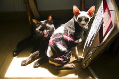 Kittens Sun. (yuly9751) Tags: cute digital canon photo kitten contraste camara photograpy spynx sephy baguira spynxcat gatitosalsol