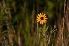 Black-eyed Susan-41919.jpg (Mully410 * Images) Tags: blackeyedsusan ramseycounty flower ricecreek ramseycountypark wildflowers ricecreeknorth park