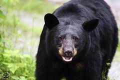 An Old Friend (Megan Lorenz) Tags: bear wild ontario canada nature animal female mammal wildlife muskoka sow blackbear wildanimals mlorenz meganlorenz