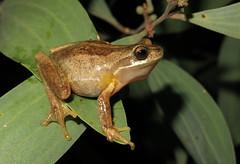 Southern Tree Frog (Litoria ewingi) (Heleioporus) Tags: brown tree victoria frog southern gippsland litoria ewingi