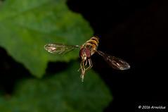 DSC_7119 - Zweefvliegje - Hoverfly (Arnoldus1942) Tags: hoverfly zweefvlieg arnosync arnoshutter