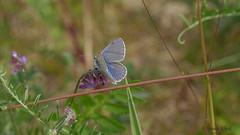 Bluling (Lycaenidae) /  butterfly (ursula.kluck) Tags: butterfly pflanze panasonic bltter ostsee insekten schmetterling bluling fluginsekt olympusm60 lumixgx80