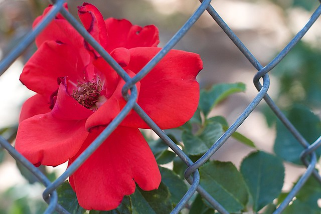 2016/366/155 Fenced In Rose