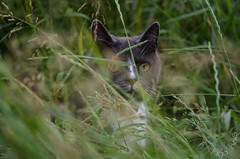 DSC_8069-1 (Kopiowanie) (Aga'Shots) Tags: pet cats macro cute eye nature grass animal cat kitty cateye
