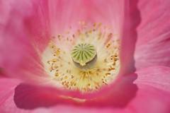 ()/Papaver rhoeas (nobuflickr) Tags: flower nature japan kyoto   cornpoppy papaverrhoeas fieldpoppy thekyotobotanicalgarden    awesomeblossoms  20160521dsc09937