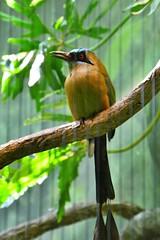 Long Tailed Orange Bird (Reed 1949) Tags: zoo woodlandpark seattle washington nikon nikond5200 tamron18270mm