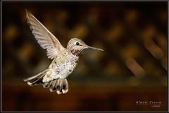 Almost Frozen (Maclobster) Tags: camera bird frozen hummingbird flash off