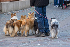 The Leader and the pack (Infomastern) Tags: dog animal hund djur ystad