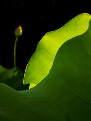 Lotus (Y.P. Jhou) Tags: flower taiwan plants leave