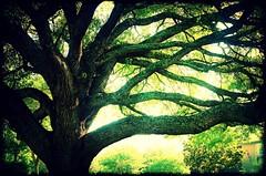 heritage oak (Jo Borlan) Tags: old tree oak massive huge