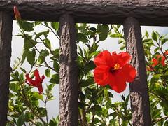 Garden (brisa estelar) Tags: wood red brown flower green nature hibiscus okinawa