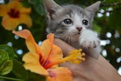 mollo (janette990) Tags: pet cat kitten kitty gato mascota rescued straycat gatito greycat abandonado gatogris adoptado recatado