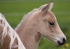 A Rose is a Rose is a Rose (winkler.roger) Tags: horse animal filly foal americanquarterhorse domesticanimal
