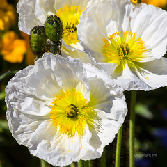 JML-2016-IMG_8862 (photo.jml) Tags: white flower nature fleur couleurs