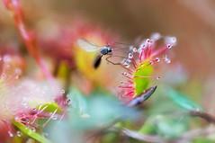 Fliegenfnger (Rainer Schund) Tags: nature nikon natur makro fliege gefangen sonnentau fleischfressend fliegenfnger nikond700 naturemasterclass natureexploring