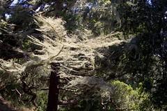 Wilder Ranch (laurapurp) Tags: tree moss oldmansbeard wilderranch wind shadows california coast beautiful woods forest scary