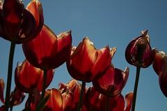 DSC_3784 (Copy) (pandjt) Tags: ca flowers canada bc britishcolumbia tulip abbotsford tulipfestival abbotsfordtulipfestival