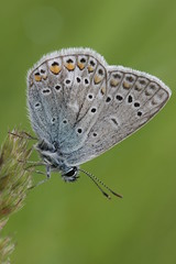 Common Blue - Polyommatus icarus (Bjrn S...) Tags: butterfly schmetterling papillon farfalla mariposa polyommatusicarus hauhechelbluling commonblue argusbleu azurcommun azurdelabugrane icaro argoazzurro
