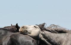 Stretch (chad.hanson) Tags: wildlife wyoming wildhorses mustangs greenmountainhma